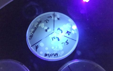 Bacteria glowing under a UV light due to a protein as part of Robert's academy senior project.