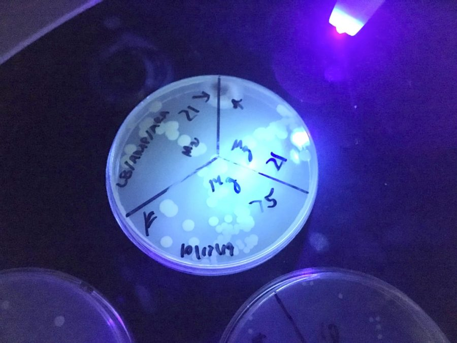 Bacteria+glowing+under+a+UV+light+due+to+a+protein+as+part+of+Robert%E2%80%99s+academy+senior+project.