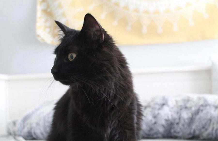 Sophomore Abigail Scharnitzky's cat, Luna, on her bed. Photo on Dec. 1, 2018.